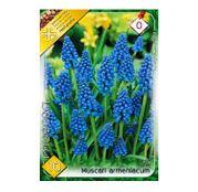 Bulbi de flori Muscari Armeniacum 10buc