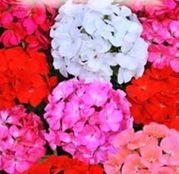 Seminte flori Muscate (Pelargonium zonale) 3seminte