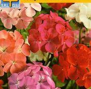 Seminte flori Muscate - Mix Amestec de culori (Pelargonium zonale) 5 seminte