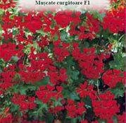 Seminte flori Muscate curgatoare F1 rosii 3seminte