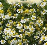 Seminte Musetel (Matricaria chamomilla) 0.5g