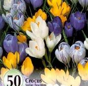 Bulbi de flori Branduse Crocus Large Flowering Mixed 10buc, 50buc