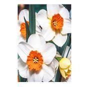 Bulbi de flori Narcise Barrett Browning 5buc.