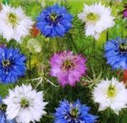 Seminte flori Negrilica (Nigella damascena) 0.5g