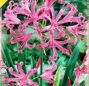 Bulbi de flori Nerine Bowdenii 2buc