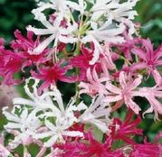 Bulbi de flori Nerine Mixed 3buc