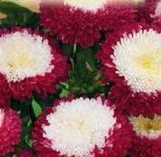 Seminte flori Ochiul boului Pompon (Callistephus chinensis) rosu cu alb 0.5g