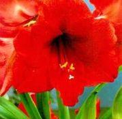 Bulbi de flori Hippeastrum Amaryllis Orange 1buc