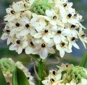 Bulbi de flori Ornithogalum Saundersiae 2buc