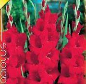 Bulbi de flori Gladiole Oscar 10 buc