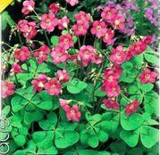 Bulbi de flori Oxalis Deppei 15buc