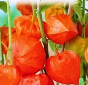 Seminte flori Papalau (Physalis alkekengi) 0.4g
