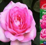 Butasi de trandafiri Teahibrid Passion