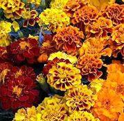 Seminte flori Craite (Tagetes patula nana) amestec de culori 1g