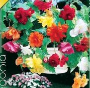 Bulbi de flori Begonia Pendula Mix 3 buc