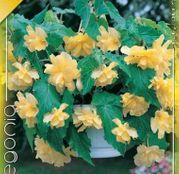 Bulbi de flori Begonia Pendula Yellow 3 buc