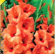 Bulbi de flori Gladiole Peter Pears 10 buc