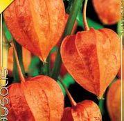Bulbi de flori Physalis Franchettii 5buc