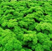Seminte patrunjel frunze Moskrul - Petra 50 g