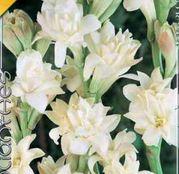 Bulbi de flori Polianthes Tuberosa The Pearl 2buc - Tuberoze