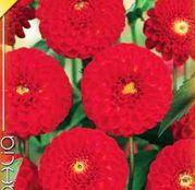 Bulbi de flori Dalia Pompon Glow 1buc