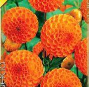 Bulbi de flori Dalia Pompon Bantling 1buc