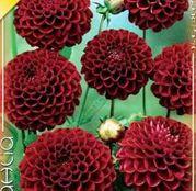 Bulbi de flori Dalia Pompon Natal 1buc