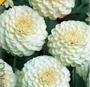 Bulbi de flori Dalia Pompon Snowflake 1buc