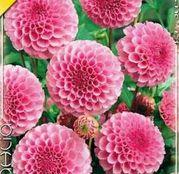 Bulbi de flori Dalia Pompon Stolze v.Berlin 1buc