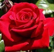 Butasi de trandafiri Teahibrid Poulman
