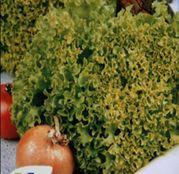 Seminte Salata Lollo Bionda 10 g