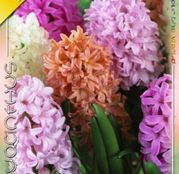 Bulbi de flori Zambile Pastel Mix 5buc