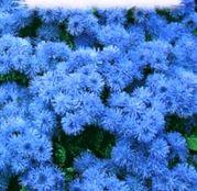 Seminte flori Pufuleti (Ageratum mexicanum) 0.3g