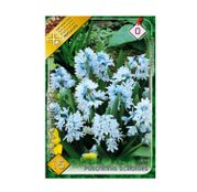 Bulbi de flori Puschkinia scilloides 15buc.