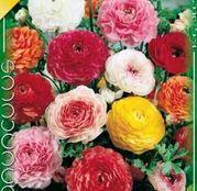 Bulbi de flori Ranunculus Asiaticus Mix de culori 10buc