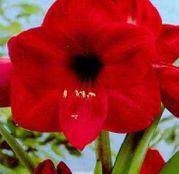 Bulbi de flori Hippeastrum Amaryllis Rosii 1buc