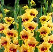 Bulbi de flori Gladiole Safari 10 buc