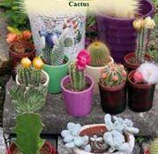 Seminte Cactus Cacti mix 0.05g