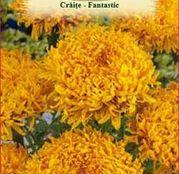 Seminte flori Craite Fantastic - Golden Yellow 0.2g
