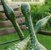 Seminte Dovlecel ornamental Cobra 4sem.