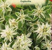 Seminte flori Euphorbia (Euphorbia marginata) 0.5g