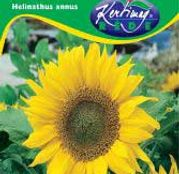 Seminte Floarea Soarelui Marica 2 - Helianthus annuus 30g