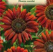 Seminte flori Floarea soarelui (Helianthus annuus) rosie 2g