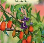 Seminte Goji - Goji Berry 10sem.