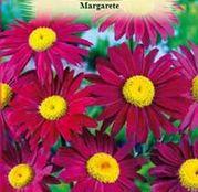 Seminte flori Margarete (Chrysanthemum coccineum) rosii 0.2g