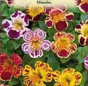 Seminte flori Mimulus (Mimulus luteus) mix de culori 0.1g