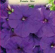 Seminte flori Petunia (Pethunia x hybrida compacta nana) mov 0.2g