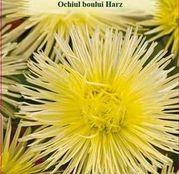 Seminte flori Ochiul boului (Callistephus chinensis) Harz galben, 0.5g