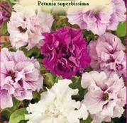 Seminte Petunia x hybrida Superbissima Mix 0.01g
