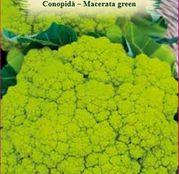 Seminte Conopida Macerata Green 1g